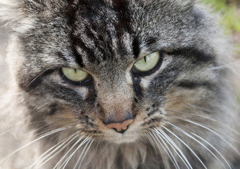 Primo piano muso di un gatto