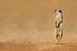 Meerkat on guard, Kalahari desert