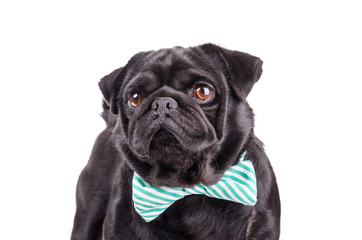 Black dog with a tie