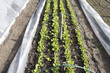 Rows of radishes and lettuce in a breeding tunnel in the organic