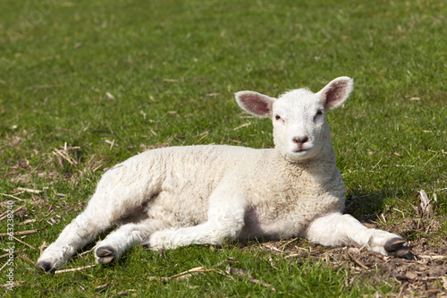 Cute lamb lying on meadow