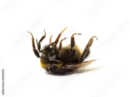 Foto op Canvas Bee Dead bumblebee