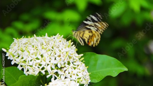 A colorful Clipper butterfly is enjoying meal on white ixora