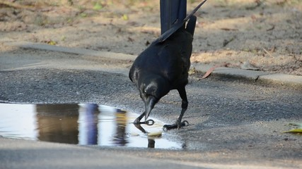 Smart crows are making the food soft in water before eating it