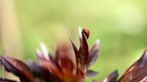 Ladybug takes off from a plant at a sunny Spring day