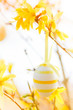 canvas print picture - easter egg on forsythia