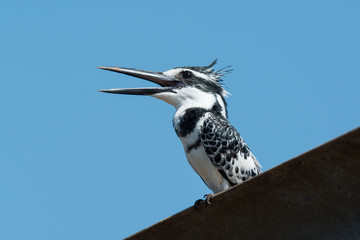 A happy male Pied Kingfisher (Ceryle rudis) calling out a greeti
