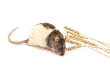 Little rat like a wheat ears