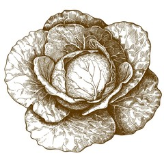 engraving cabbage on white background