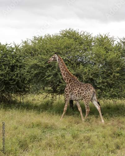 walking giraffe in south africa