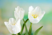 Belles tulipes sur fond clair