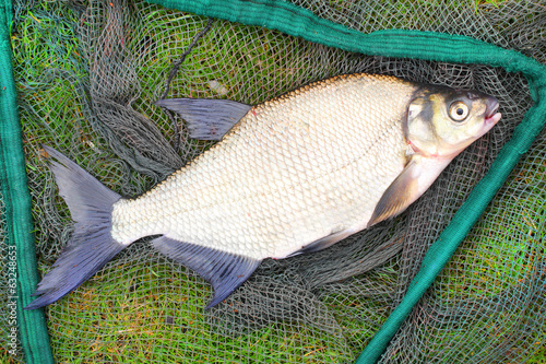 Common bream (Abramis brama) on a landing net.