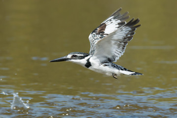 Pied Kingfisher flying low over water teeming with fish