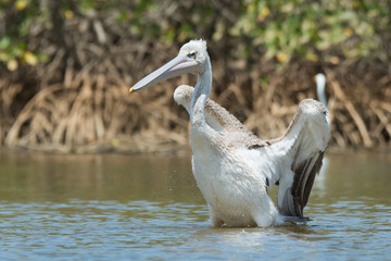 Pink-backed Pelican ready to lunge