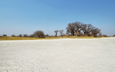 Baobabs on Baines Baobab in winter, Botswana