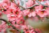 Fototapety Spring Blossoms