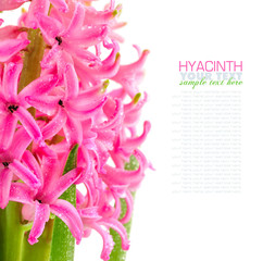 Pink hyacinth on white background
