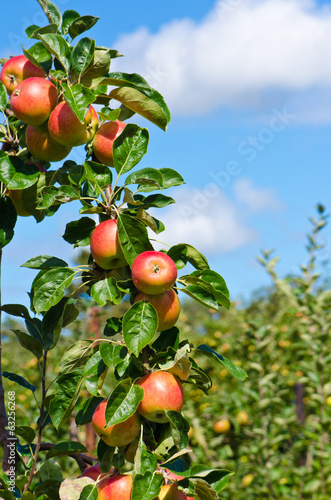apples branch