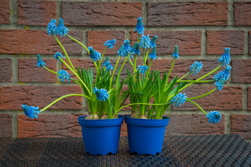 Traubenhyazinthen, Muscari