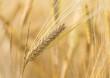 Barley - 63258611