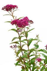 Spiraea japonica Dart's Red