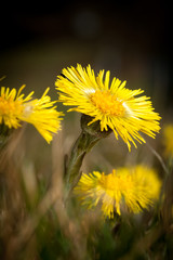 Coltsfoot Medical First Flower on Spring - Latin Name Tussilago