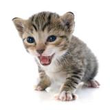 tabby kitten - 63259835