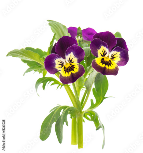 Tuinposter Pansies closeup of pansy isolated on white
