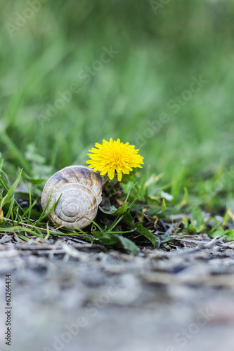 Dandelion and snail