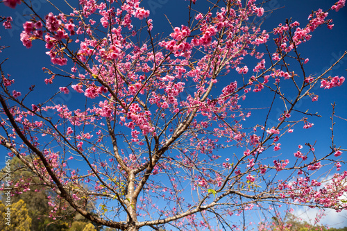 Branch with pink sakura blossoms. Natural background