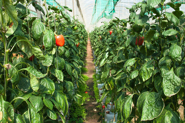 Pepper intensive farm