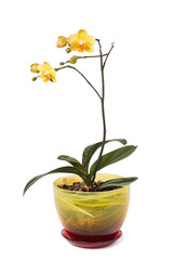 Yellow orchid flower (phalaenopsis) in a pot isolated on white b