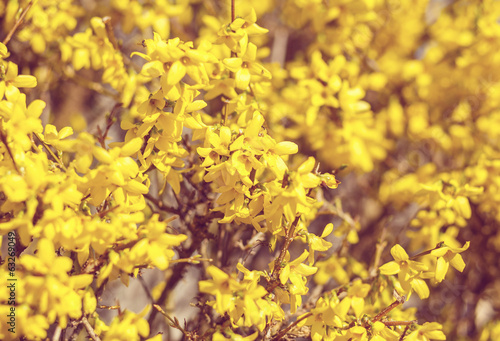 Yellow flower Forsythia