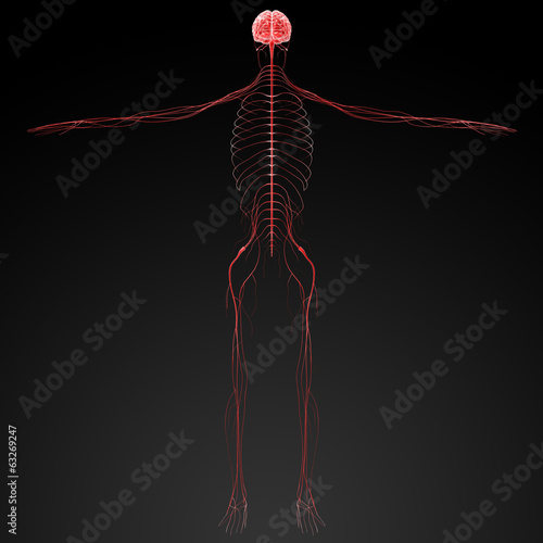 3d rendered illustration  nervous system
