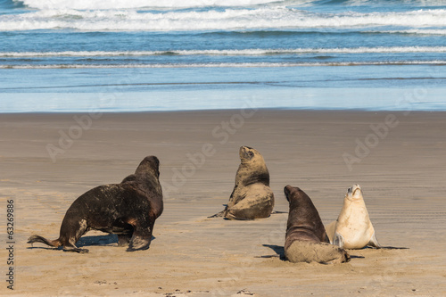 colony of sea lions on sandy beach