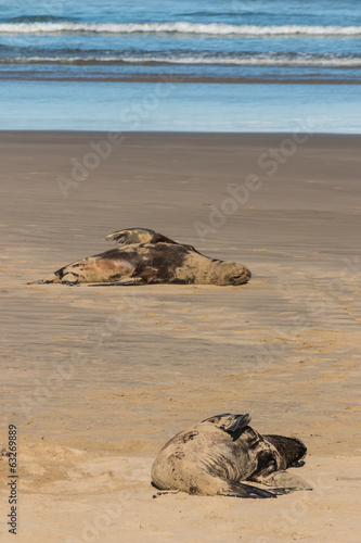 lazy sea lions on sandy beach