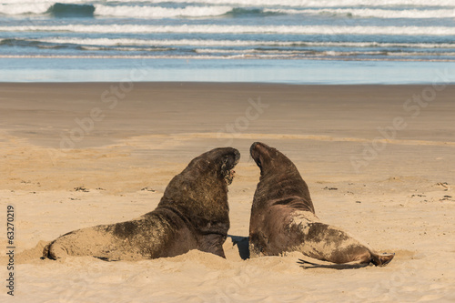 two sea lions basking on sandy beach