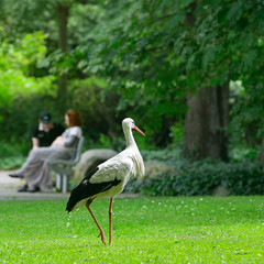 Stork on the green grass