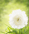 white buttercup in summer garden