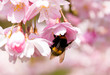 bumblebee on the spring flower cherry