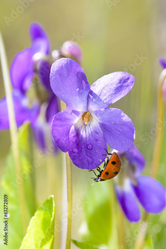 Lady Bug on Viola Odorata Bloom