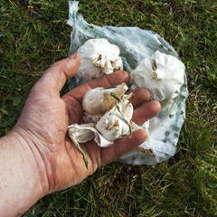 Garlic Bulbs sprouting, ready for planting, in gardener's hands.