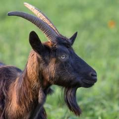 braune hausziege auf der weide / Brown goat on the Meadow