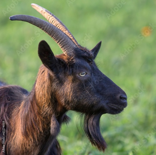 braune hausziege auf der weide / Brown goat on the Meadow