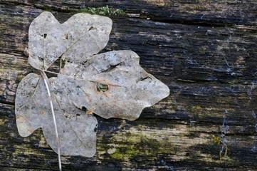 Lilioceris merdigera, Chrysomelidae