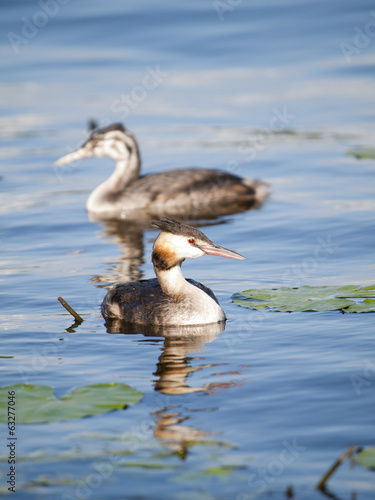 Swimming Great-crested Grebe (podiceps cristatus) with young