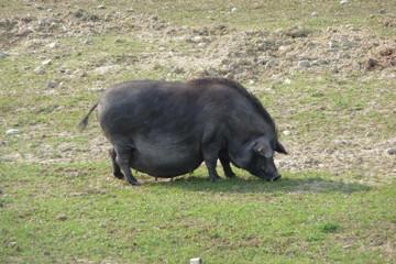 Black sow