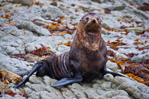 cute wild seal at Seal colony Kaikoura New Zealand