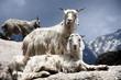Goats on the Rocks