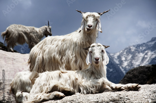 Fotobehang Nepal Goats on the Rocks